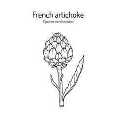 French globe or green artichoke vector