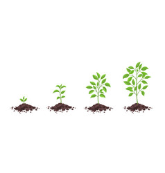 Growth stages diagram sprout seedling shoot vector