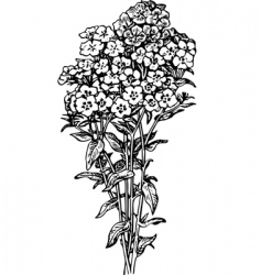 phlox vector image