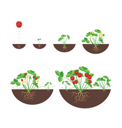 cartoon growth stages of strawberries icon set vector image