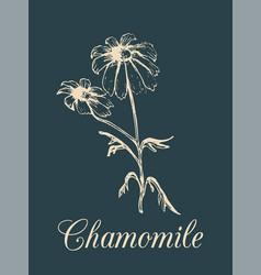 Chamomile hand drawn vector