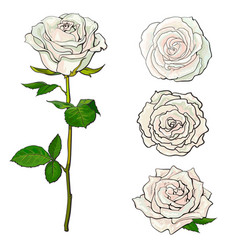 white rose blooms set with branch of summer flower vector image