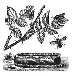 Rose megachile bee vintage vector