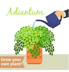 hand watering adiantum plant vector image