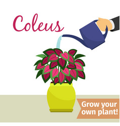hand watering coleus plant vector image vector image