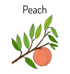 Peach branch prunus persica edible juicy fruit vector