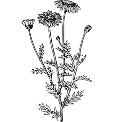 plant anthemis vector image