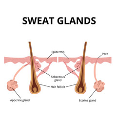 sweat and sebaceous gland vector image