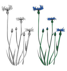 Cornflowers silhouettes and colorful isolated on vector