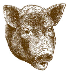 engraving of big pig head vector image