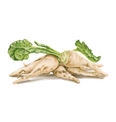 sugar-beet-hand-painted vector image