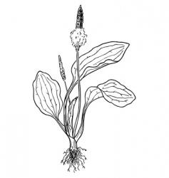 Plantain plantago vector