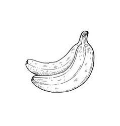 Summer tropic banana fruit exotic food hand drawn vector