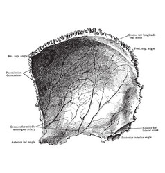 Inner surface of the parietal bone vintage vector