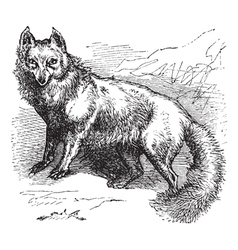 Arctic Fox Sketch vector image