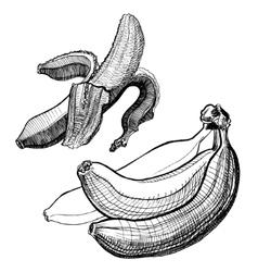 Bananas engraving drawing Fruit and food themes vector image vector image