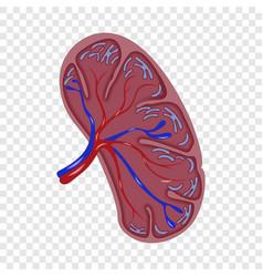 half cut spleen icon realistic style vector image