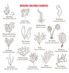 big collection edible and medicinal seaweeds vector image