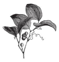 Vintage Greenbriar Sketch vector image