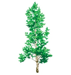 Birch tree on white background vector