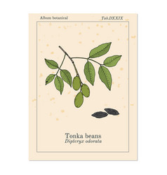 tonka beans dipteryx odorata aromatic and vector image