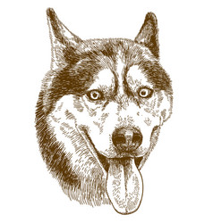 engraving drawing of husky dog head vector image