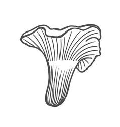 chanterelle mushroom hand drawn vector image