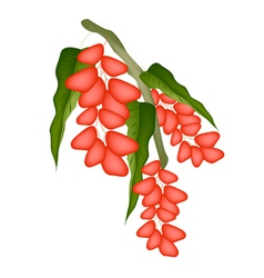 Red Ripe Pistachio Nuts on A Tree vector