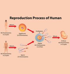 Reproductive process human vector