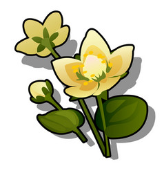 yellow flowers caltha or caltha palustris vector image