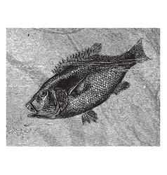 hussar fish vintage vector image
