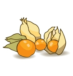 Cape gooseberry vector