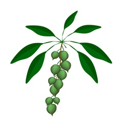 Fresh Green Macadamia Nuts on A Branch vector