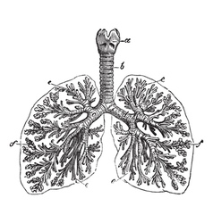 The lungs of man vintage engraving vector image