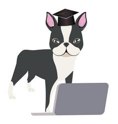 Boston terrier graduation vector