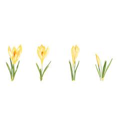 Set yellow spring crocus flowers vector