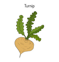turnip vegetable hand drawn vector image