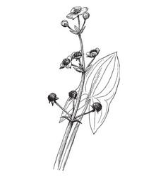 Sagittaria latifolia vintage vector