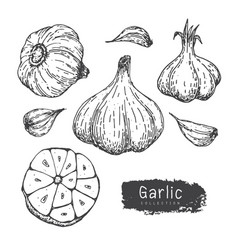 garlic collection hand draw garlic set isolated vector image