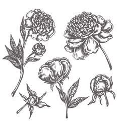 peony flower drawing sketch floral botany vector image
