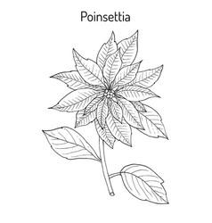 poinsettia euphorbia pulcherrima christmas star vector image