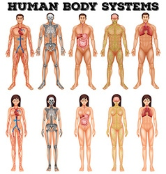 Body system of man and woman vector image vector image