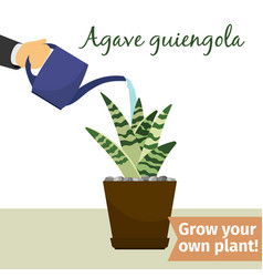 hand watering agave plant vector image