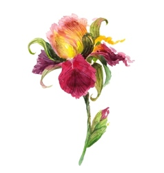 Beautiful watercolor iris flower vector image vector image