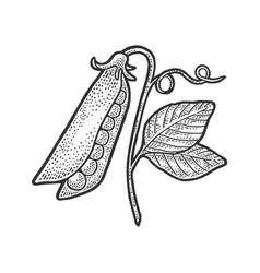 Pea pod sketch vector