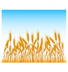 field of wheat vector image vector image