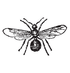 Female ash black ant vintage vector