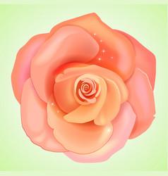 Peach pink rose vector