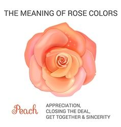 peach rose infographics vector image