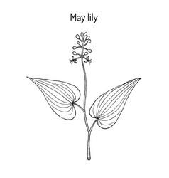 False lily valley maianthemum bifolium vector